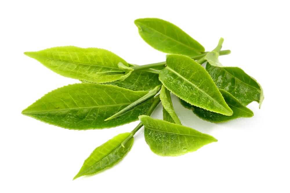 как принимать экстракт зеленого чая