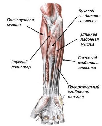анатомия предплечья