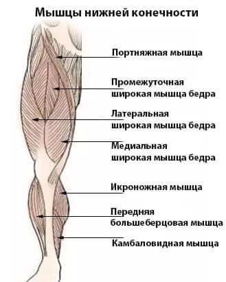 мышцы нижней конечности